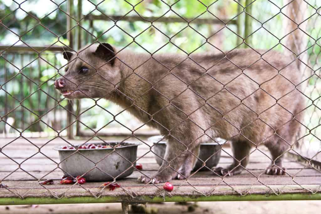 """Kopi Luwak, the """"most expensive coffee in the world"""", is it worth it? 3"""